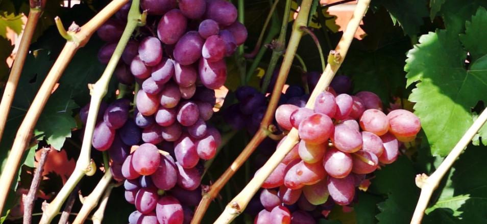 Сорт винограда Матрешка описание, фото, видео