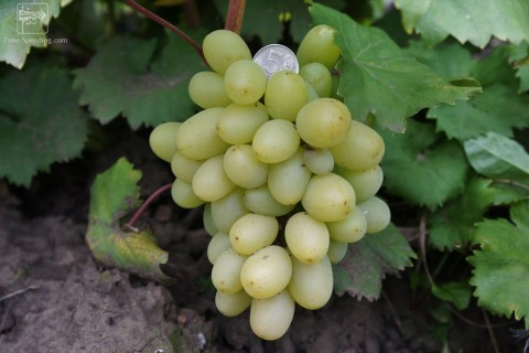 Сорт винограда Подарок Запорожью описание, фото, видео