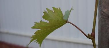 Как правильно сажать, поливать, обрезать и укрывать на зиму виноград