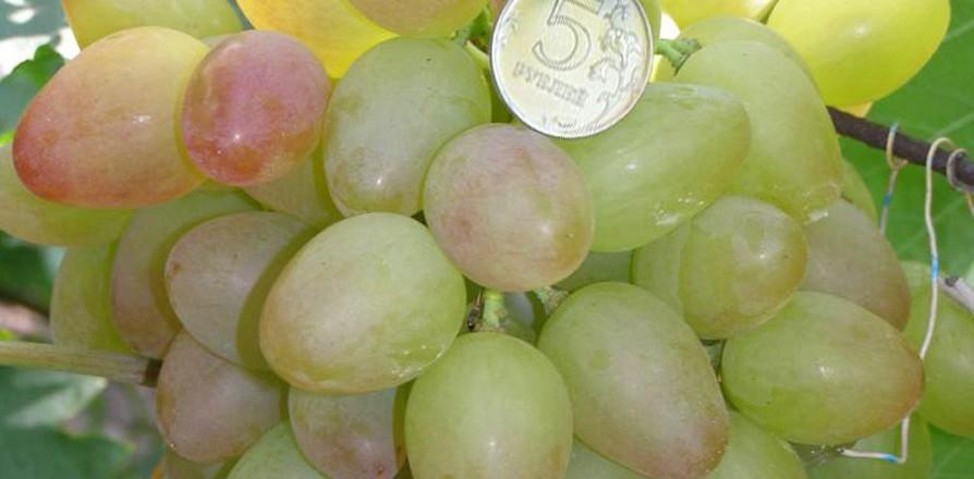 Виноград сорт Багровый - описание, фото