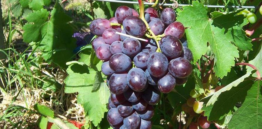 Виноград сорт Памяти Учителя - описание, фото