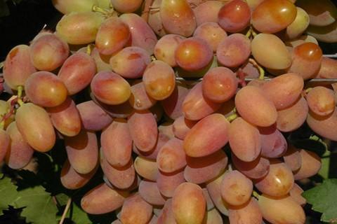 Виноград сорт Потомок Ризамата - описание, фото