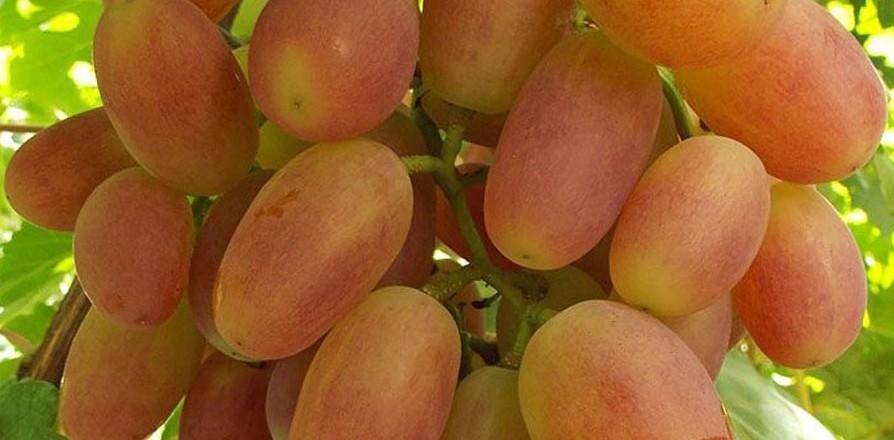 Виноград сорт Сенсация - описание, фото