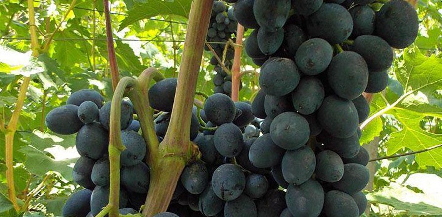 Виноград сорт Чёрная вишня - описание, фото