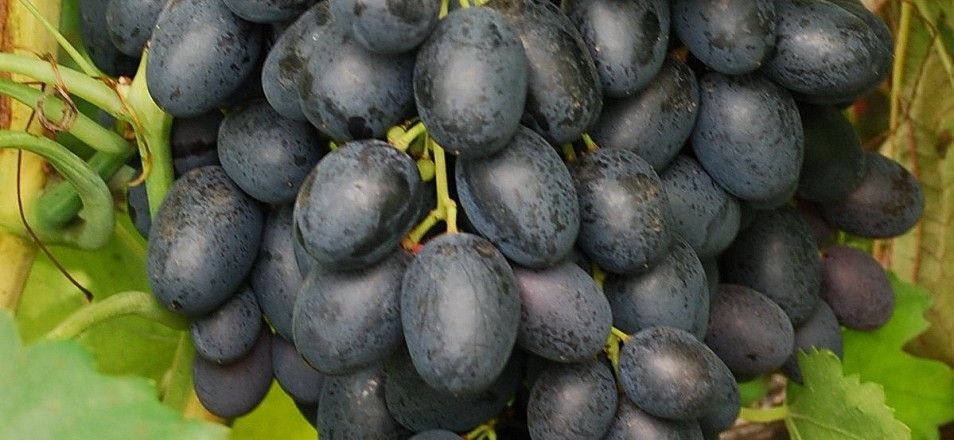 Сорт винограда Фурор описание, фото