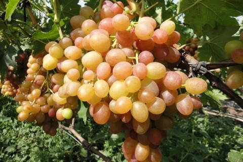 Сорт винограда Хамелеон описание, фото