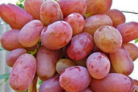 Виноград сорт Юлиан - описание, фото