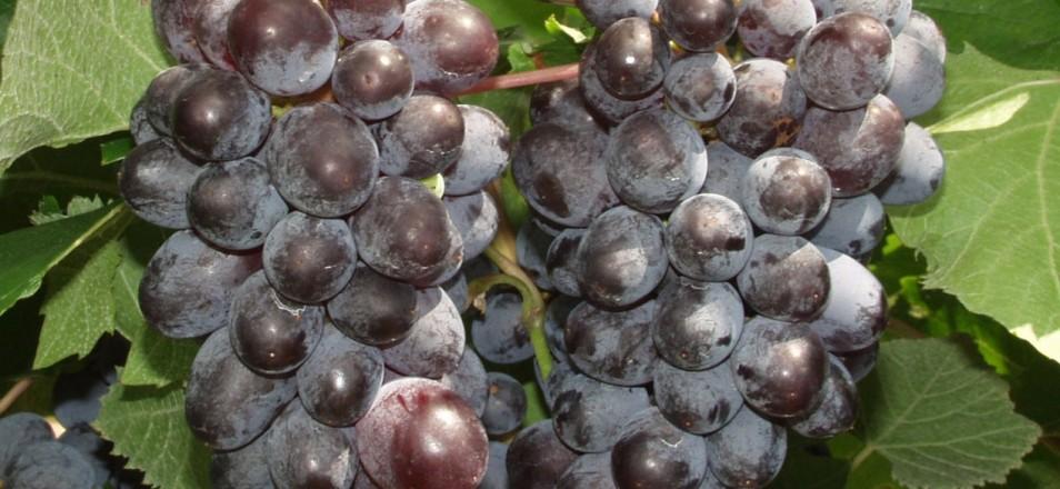 Сорт винограда кишмиш Юпитер описание, фото