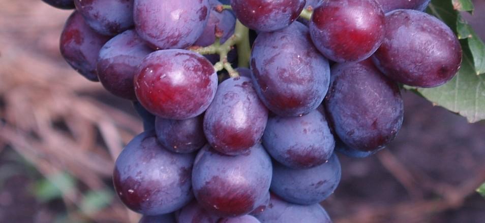 Сорт винограда Заря Несветая описание, фото