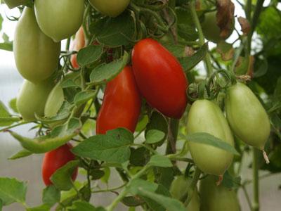 Коллекционные семена помидоров