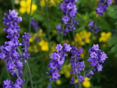 Рассада неприхотливых многолетних цветов